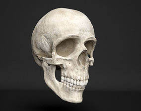 3D model human skull bone