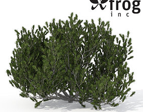 3D XfrogPlants Mugo Pine 1