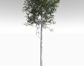 Tall Mature Quaking Aspen - Variation 1 3D model