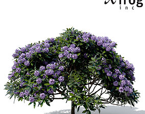 XfrogPlants Common Rhododendron 3D model