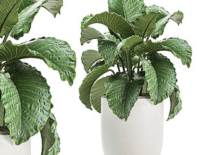 Alocasia in a white flowerpot for decor and 3D model 3