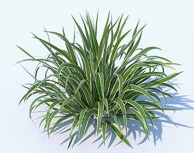 Variegated Dianella plant 3D