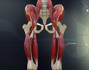Human Pelvis Muscle Bone Anatomy 3D model