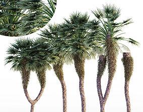 Chinese Fan Palm tree 3D