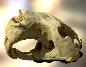 3D model Giant beaver skull