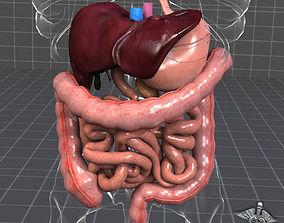 anatomy Human Digestive System 3D
