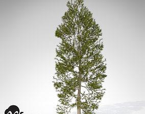 XfrogPlants Japanese Cedar 3D