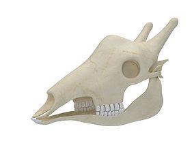 Giraffe Skull Skeleton 3D