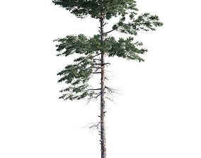 Pine Tree 003 3D
