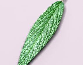 3D model Leatherleaf vibornum plant leaf