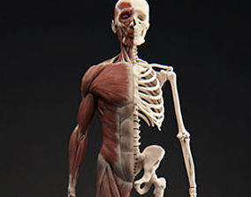 3D Male Muscular System