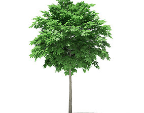 3D model Norway Maple Acer platanoides 3m 2