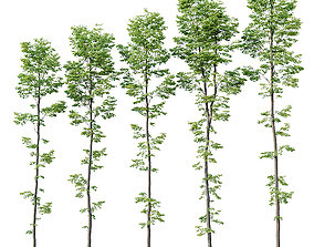 3D Tilia europaea Nr 9 H19-27m Five forest trees