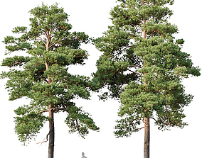 Pinus sylvestris Nr13 H12- 14m Two tree 3D model