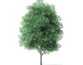 Green Ash Tree 3D Model 5m