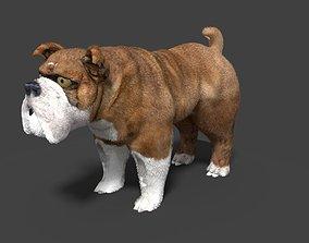 boxer 3D model bulldog