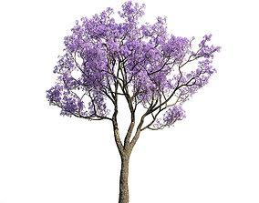 3D Jacaranda mimosifolia 33 am154