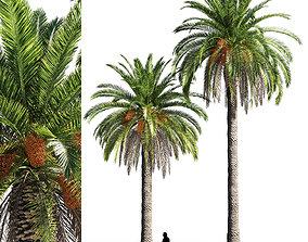 Canary island date palm 3D