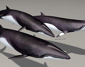 3D Minke Whales - 3 Poses - Balaenoptera Acutoro - Adult 1