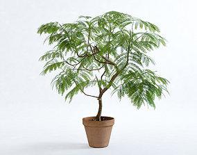 Everfresh Tree 1M - Cojoba arborea var angustifolia 3D