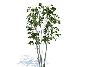 3Dmodel Tree Japanese Yamaboushi