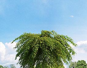 3D model Salix repens var nitida 022 v3 AM136