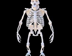 3D model Gorilla Skeleton