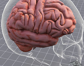 Human Brain Anatomy sulcus 3D model