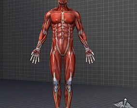 3D model Human Male Muscular System