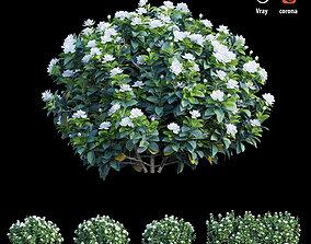 3D model Gardenia angustifolia merr Plant set 05