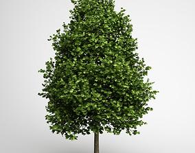 CGAxis Green American Sweetgum 09 3D model