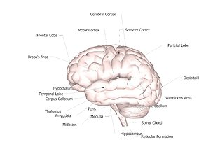 3D model brain with labeled parts and areas