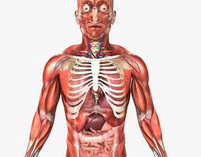 3D model Human Male Anatomy