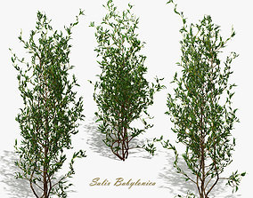 3D Bush Willow Salix Babylonica