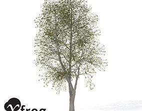 XfrogPlants Sweet Chestnut 3D model
