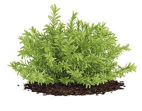 3D model Thin Leaves Sedum Plant Sedum album