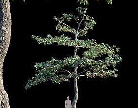 Terminalia Catappa Var1 3D model