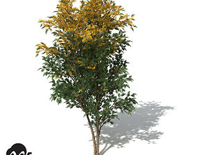 XfrogPlants Silky Oak 3D
