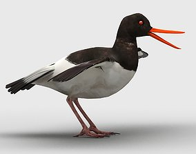 3D model low-poly Oyster Catcher Oystercatcher