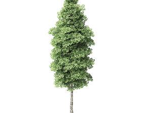 Red Alder Tree 3D Model 14m