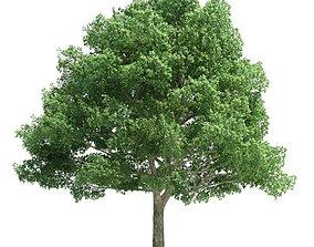 Green Tree Quercus 3D model