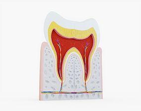 3D model Human Tooth Anatomy