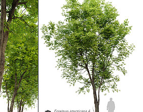 Fraxinus americana- White ash 4 3D model