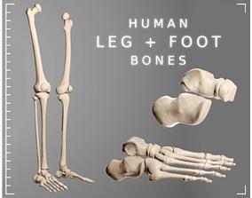 3D model Human Leg Bones