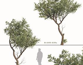 3D model Set of Fruitless Olive or Olea Europaea Trees - 2