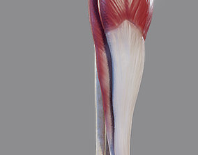 Leg Muscles - Posterior Superficial Muscle Group 3D asset