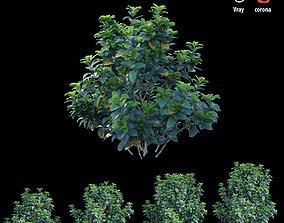 3D Gardenia angustifolia merr Plant set 04