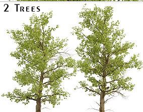 American Sycamore or Platanus Occidentalis Tree - 2 3D