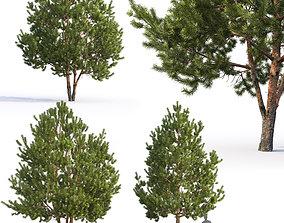 3D Pinus Sylvestris H6-7m