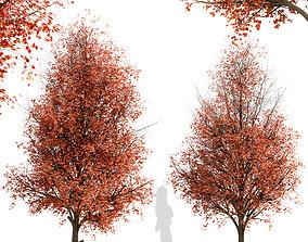 Set of Pyrus Calleryana or Callery Pear Trees - 2 Trees 3D